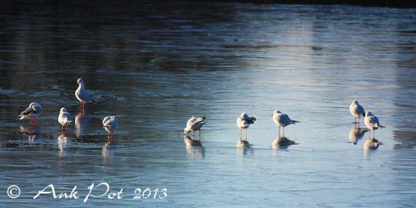 seagulls on thin ice