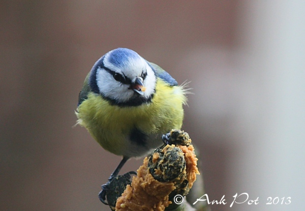 Blue tit eating peanutbutter