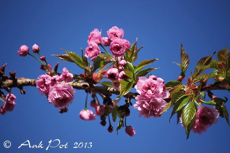 Japanese cherry/Prunus-serrulata/Japanse Sierkers