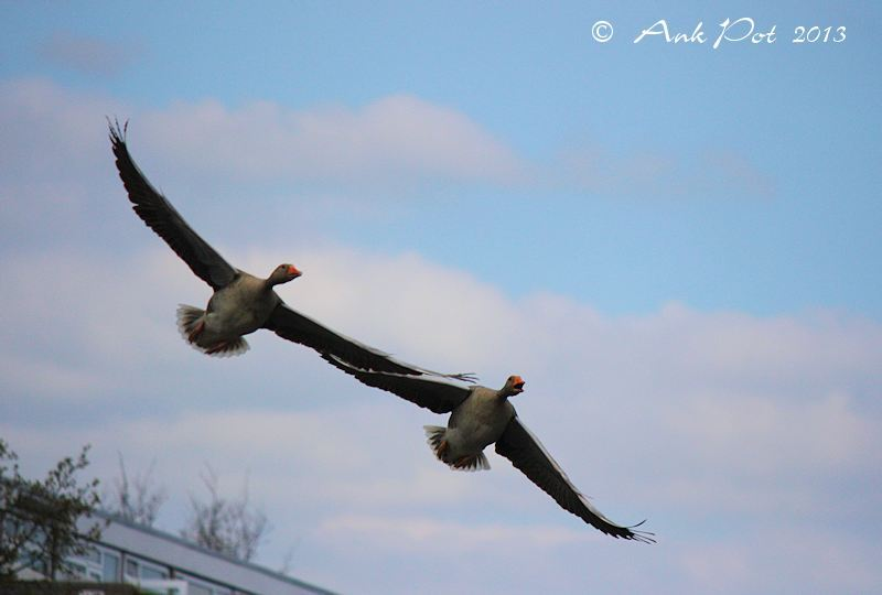 two flying goose