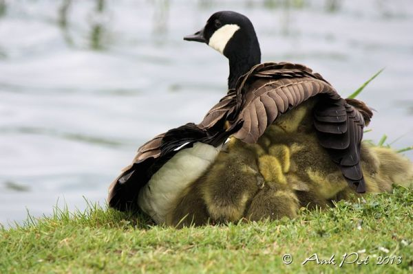 Canada goose with ducklings