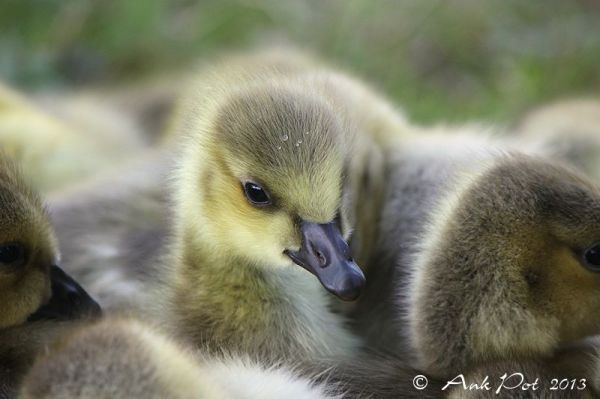 goslings piled up