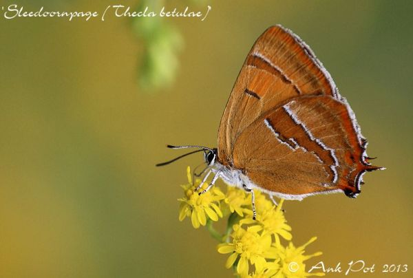 Brown Hairstreak (Thecla betulae)