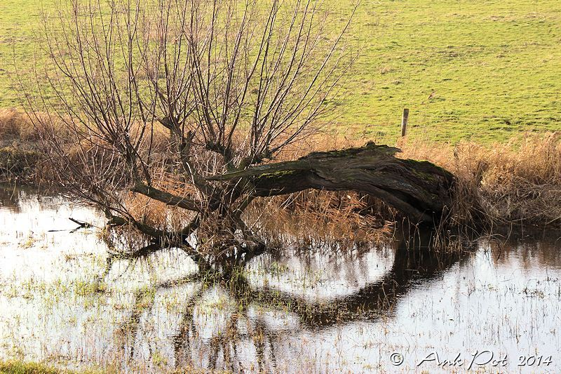 reflected willowtree