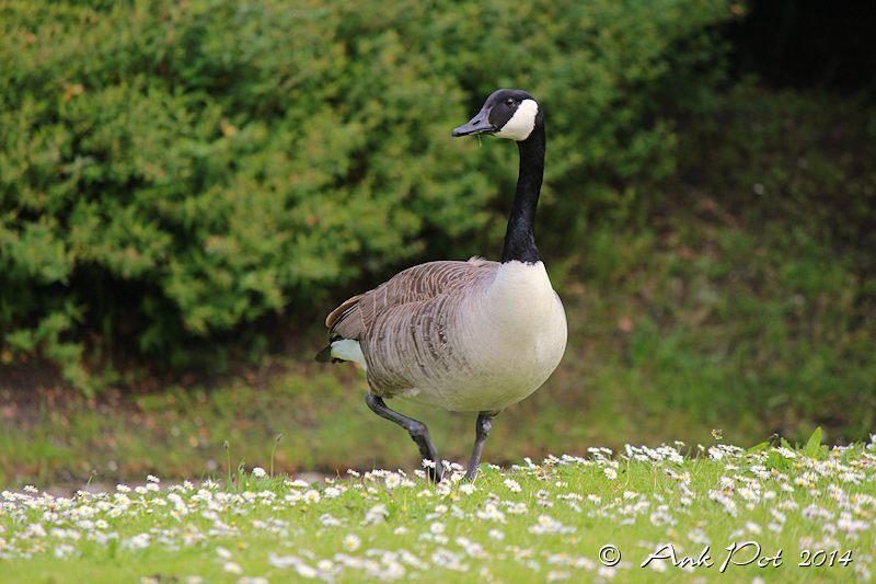 Canada goose/Canadese gans