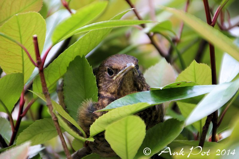 Young common blackbird