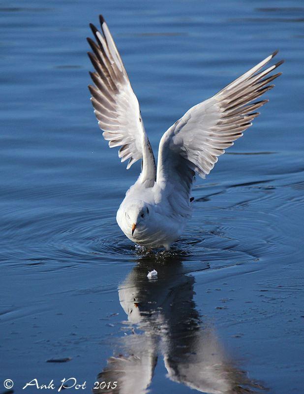 seagull on thin ice