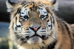 Tigercub/Tijgerwelp