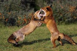 Fighting foxes/Vechtende vossen