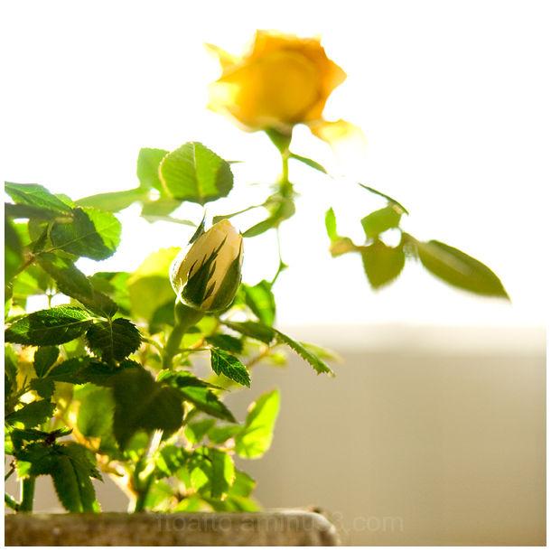 rosa rose flor flower tradición tradition