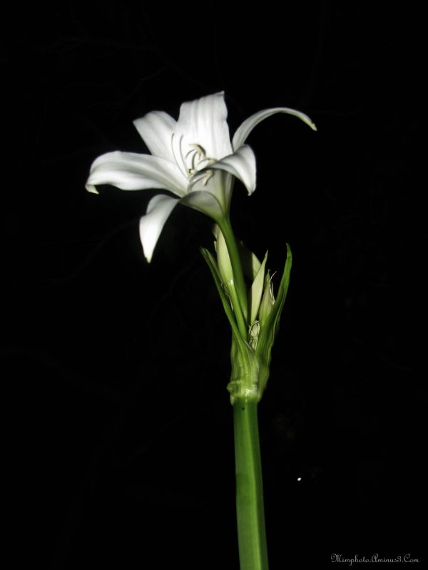 Lis Flower