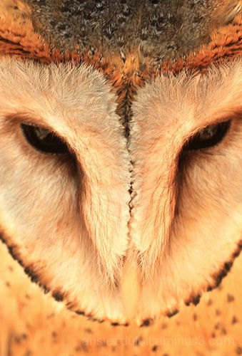 nonnetjiesuil (Tyto alba)