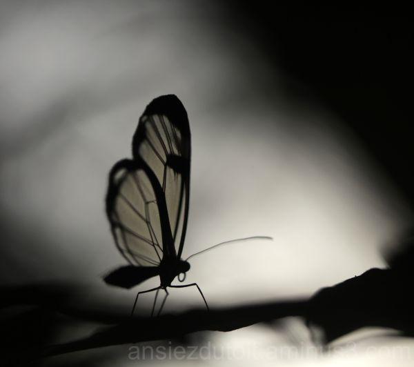 glassbutterfly silhouette