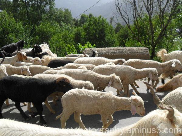 herd of sheep......