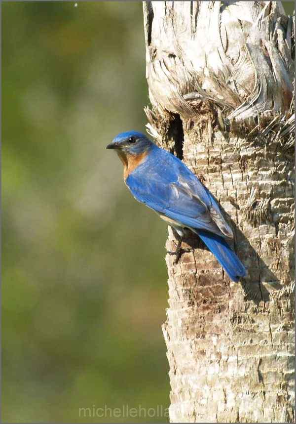 Papa Eastern Bluebird