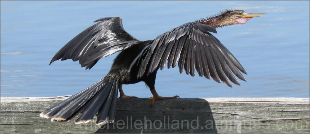 Anhinga Sunning Wings