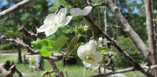 Sand Pear Blossom