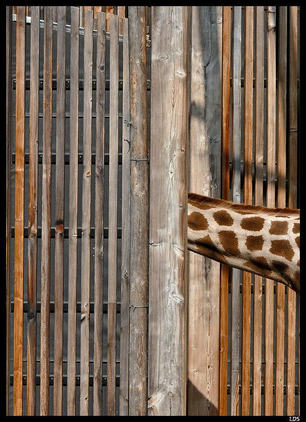 Girafe cache-cache