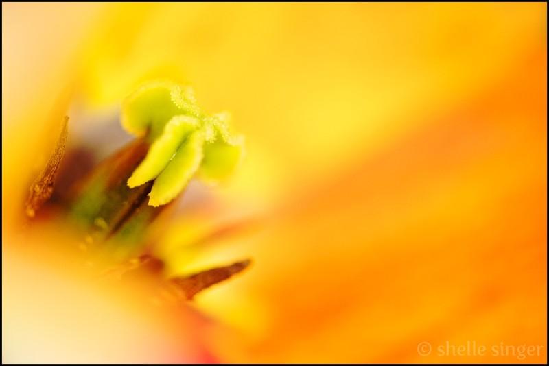 tulip macro yellow