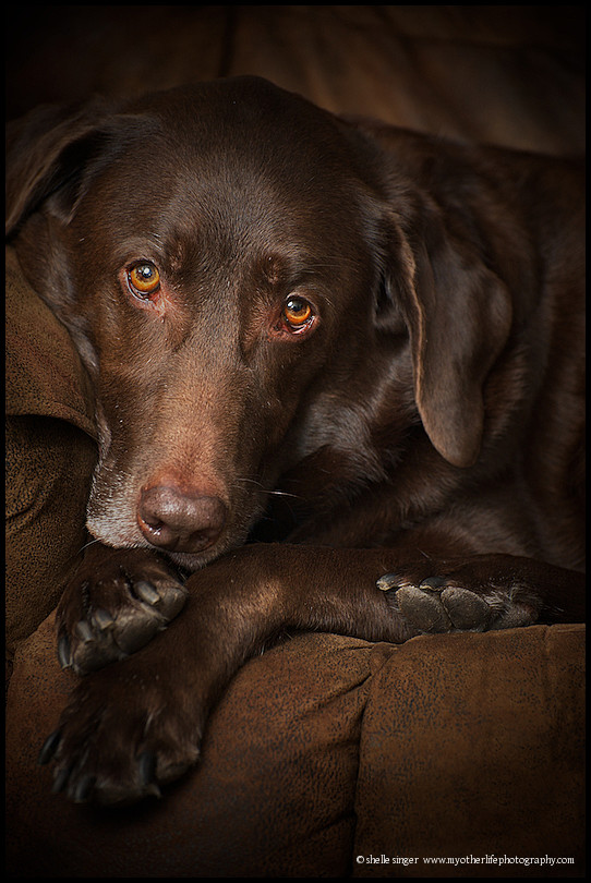 chocolate labrador curled up on couch