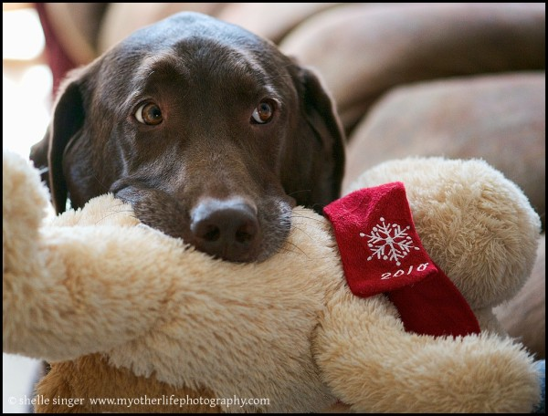 chocolate lab with stuffed toy