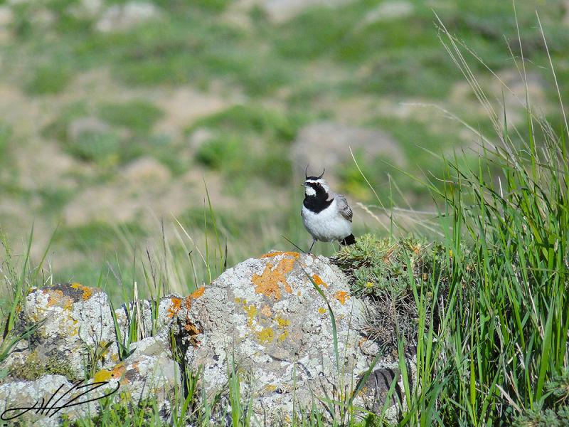 Horned warbler