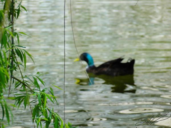 ducki