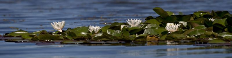 Valge vesiroos, White Waterlily, Nymphaea alba.