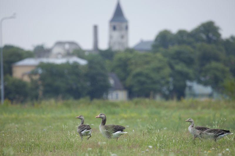 Hallhani, Greylag Goose, Anser anser.