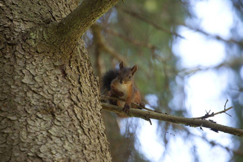 Punaorav, Red squirrel, Sciurus vulgaris.
