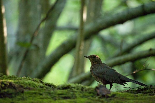 Musträstas, Blackbird, Turdus merula.