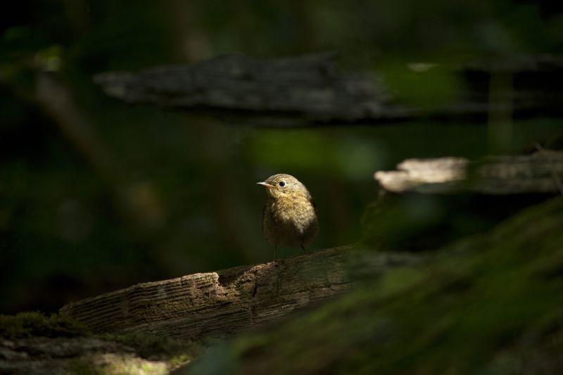 Punarind, Robin, Erithacus rubecula.