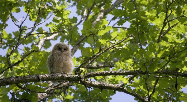 Kodukakk, Tawny Owl, Strix aluco.