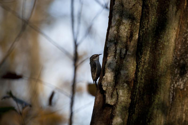 Porr, Eurasian Treecreeper, Certhia familiaris.