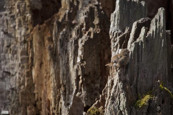 Käblik, Eurasian Wren, Troglodytes troglodytes.