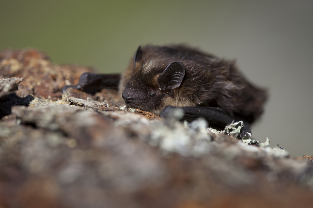Põhja-nahkhiir (Eptesicus nilssonii)