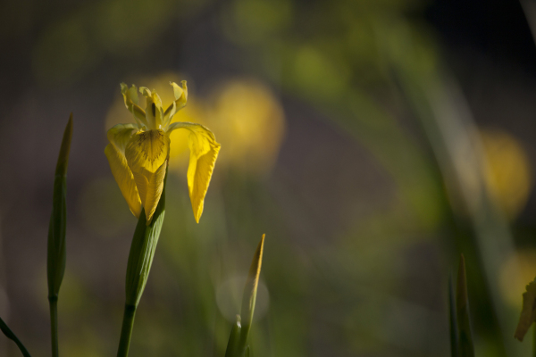 Kollane võhumõõk, Iris pseudacorus.