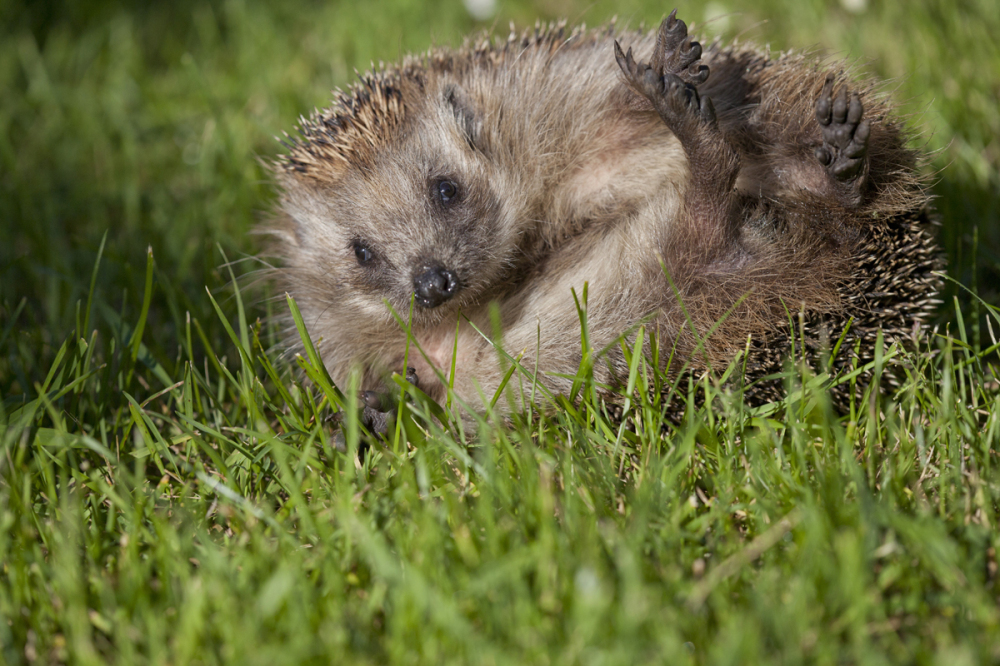 Siil, Erinaceus europaeus, European Hedgehog