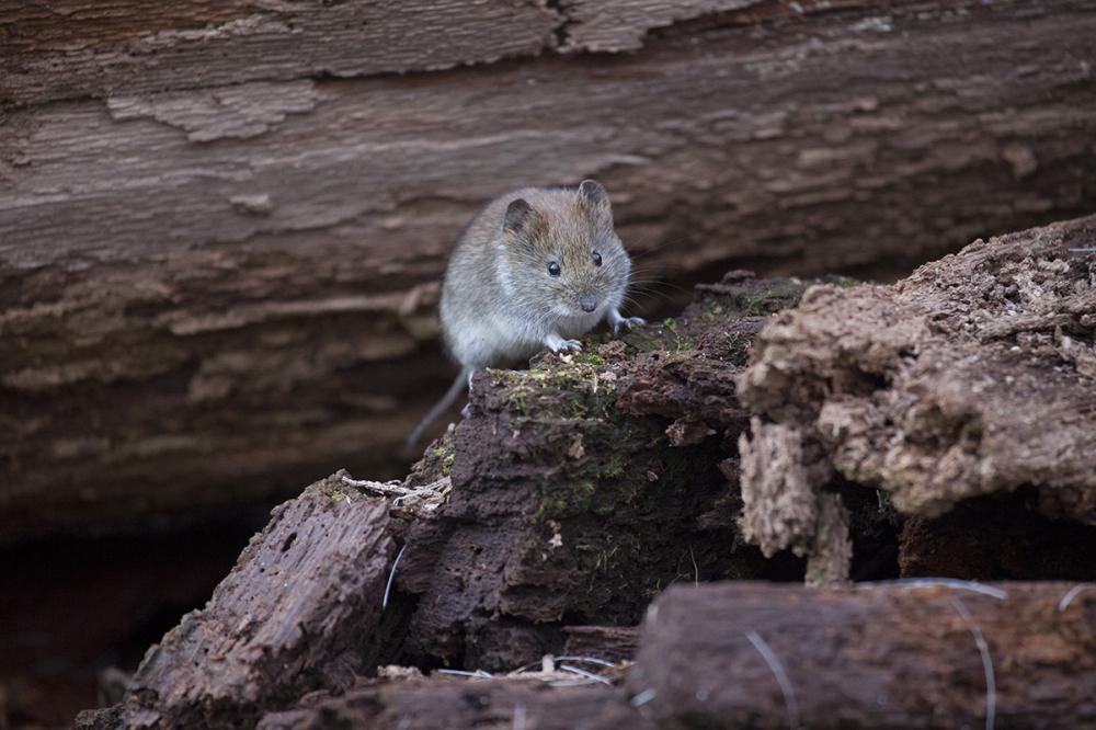 Koduhiir, House mouse, Mus musculus.