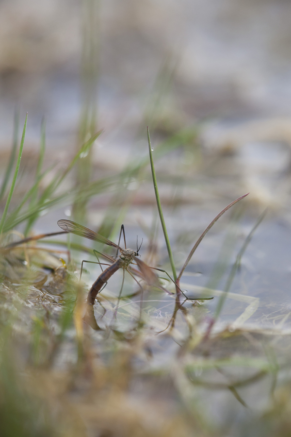 Tipula maxima.
