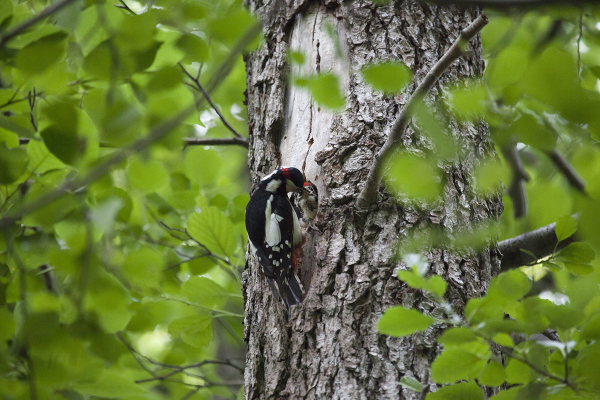 Suur-kirjurähn, Great Spotted Woodpecker.