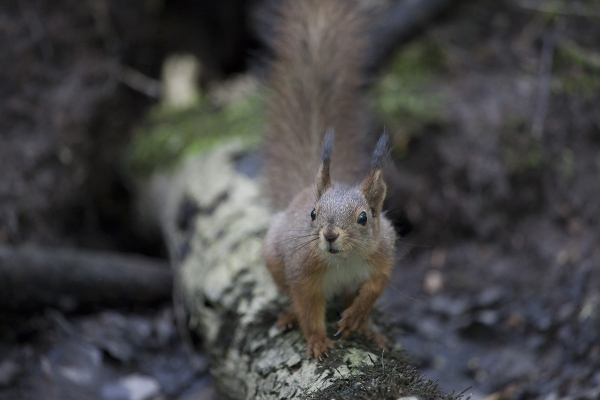 Punaorav, Red squirrel, Sciurus vulgaris.