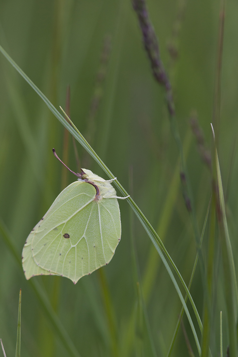 Lapsuliblikas, Gonepteryx rhamni.