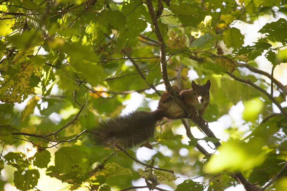 Orav pähkleid otsimas
