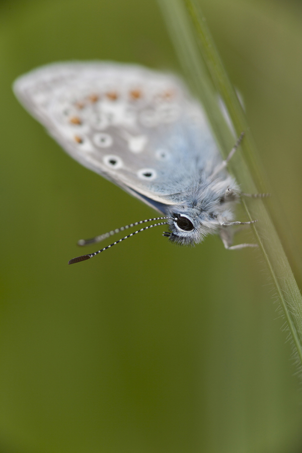 Sinitiib, Lycaenidae