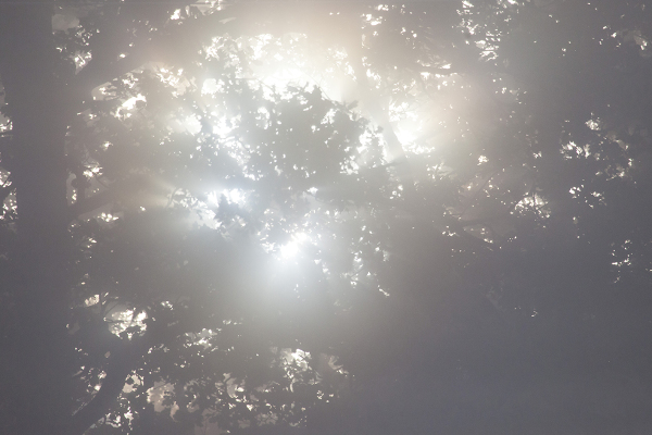 Päikesekera tammevõras