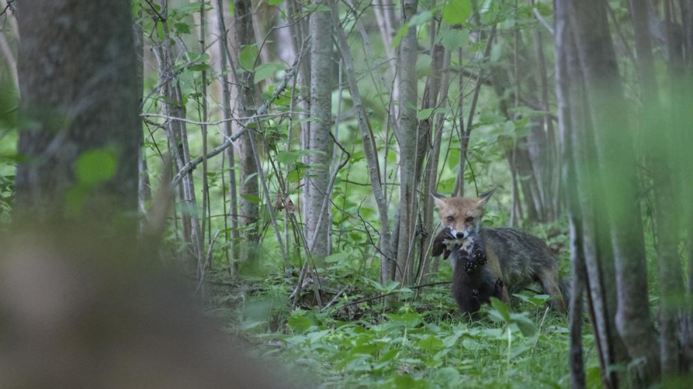 Metsnugis saagiks