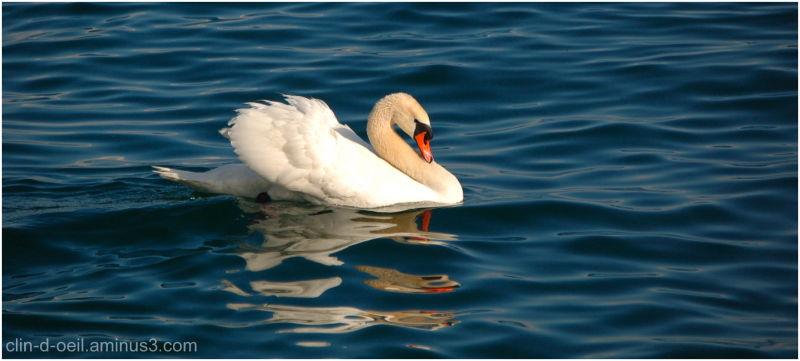 Cygne blanc Bleu Lac