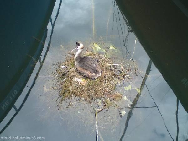 Grèbe huppé sur son nid