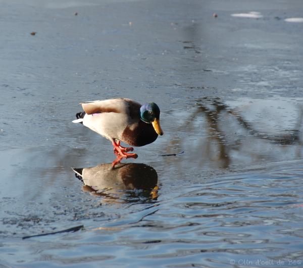 Canard sur la glace